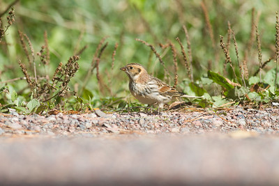 Lapland Longspur Superior National Forest Lake County MN-3983