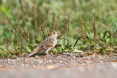 Lapland Longspur Superior National Forest Lake County MN-4007