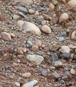Lapland Longspur gravel pit Admiral Road Sax-Zim Bog MN IMG_3333