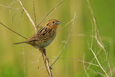LeConte's Sparrow has a barely audible song. It loves brushy grasslands [June; Douglas County, Minnesota]