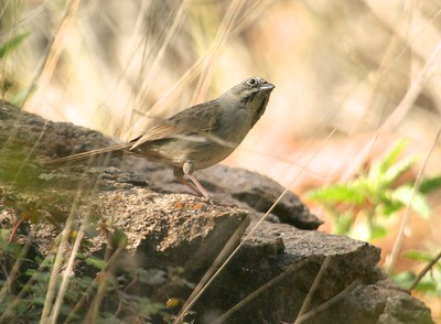 Rufous-crowned Sparrow TX 147_4787