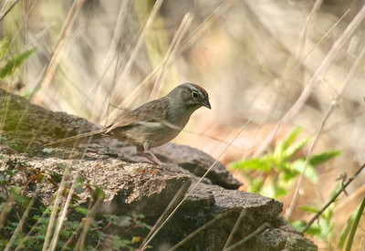 Rufous-crowned Sparrow TX 147_4788