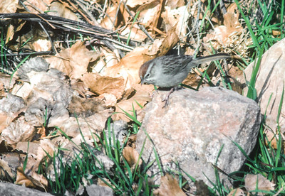 Rufous-crowned Sparrow Grand Canyon National Park March 1985 AZ SLIDE SCAN BIRDS-29