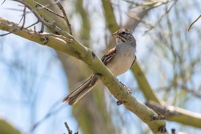 Rufous-winged Sparrow Sonoran Desert Museum Tucson AZ southeast Arizona June 6-12 2019-01984