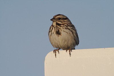 Song Sparrows possess a bold breast spot [April; Park Point, Duluth, Minnesota]