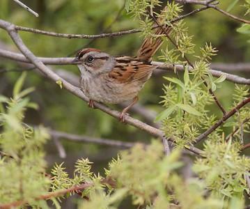 Swamp Sparrow Stone Lake Road Sax-Zim Bog MN IMG_3096
