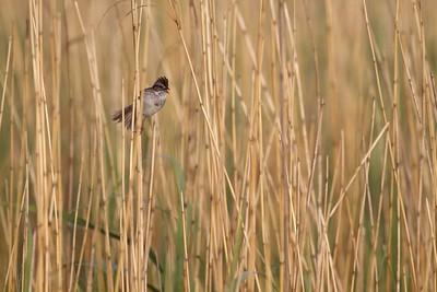 Swamp Sparrow Horsehead Lake Kidder Co ND IMG_1292