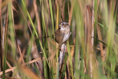 Swamp Sparrow Kimmes-Tobin Wetlands Douglas Co WI IMG_2193