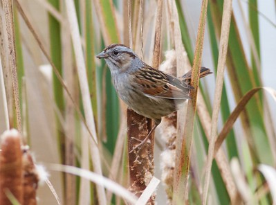 Swamp Sparrow IMG_9994
