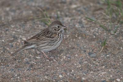 Vesper Sparrow Felton Prairie Clay Co MN IMG_1318