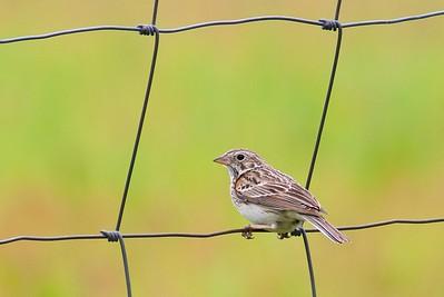 Vesper Sparrow Itasca Co MN IMG_011808