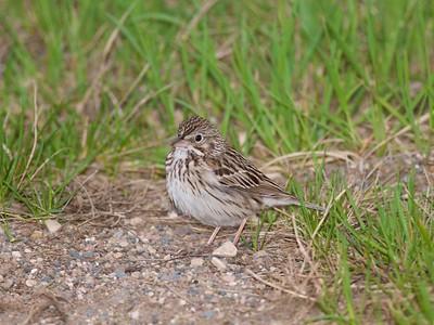 Vesper Sparrow Felton Prairie Clay Co MN IMG_1325
