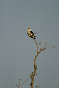 Perched White-tailed Kite [April; Pharr, Texas]Rio Grande Valley, Lower Rio Grande Valley, Texas bird