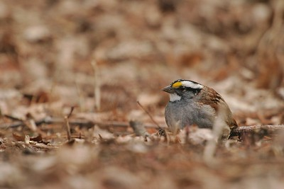 Aptly named, White-throated Sparrows are a beautiful species but often taken for granted [April; Skogstjarna, Carlton County, Minnesota]