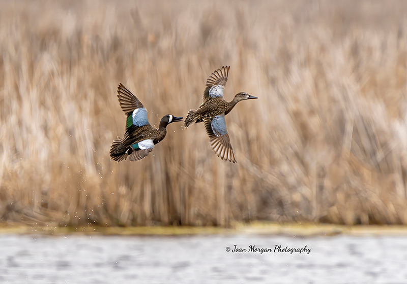 A Pair of Blue Winged Teals