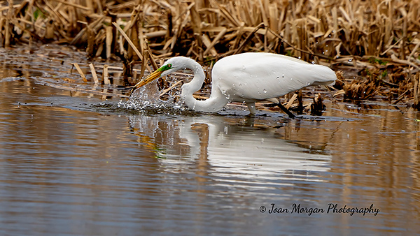 Egret catching some lunch