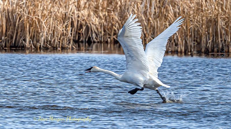 Swan at Oak Hammock Marsh