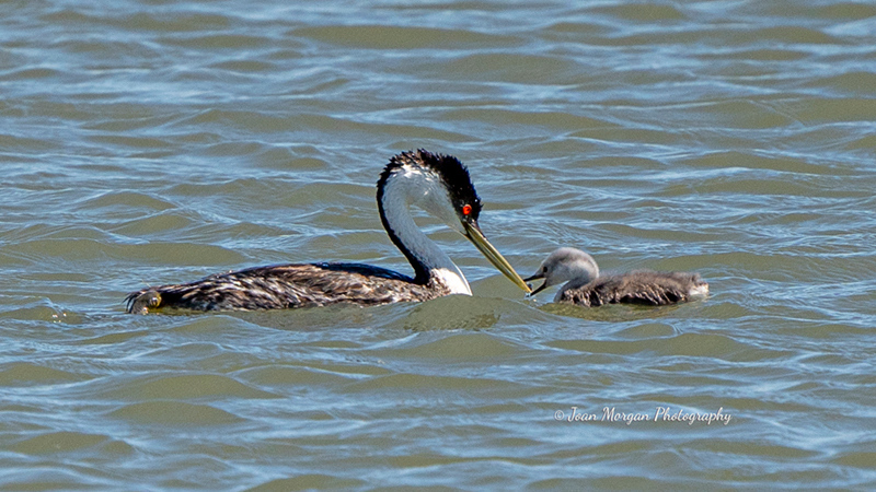 Western Grebe and baby