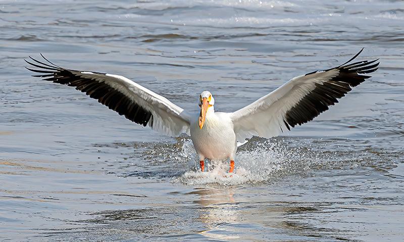 Pelican at Lockport Manitoba