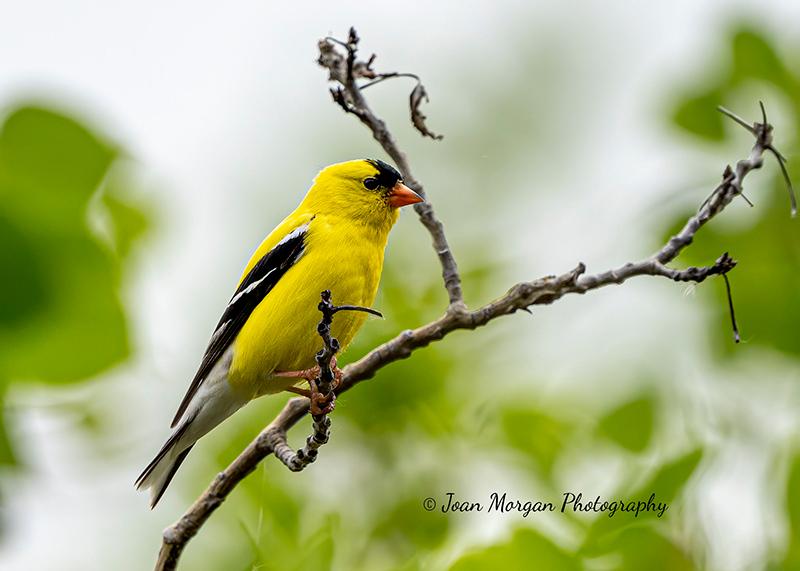 Finch taken at Fort Whyte Alive, Manitoba
