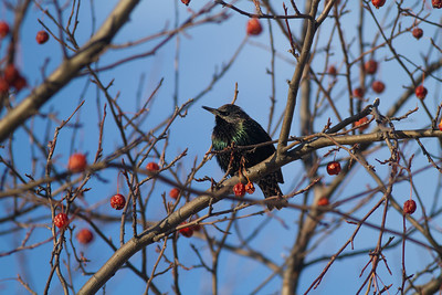European Starling crabapples Bong Airport Superior WI IMG_0326