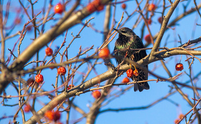 European Starling crabapples Bong Airport Superior WI IMG_0281