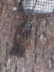 European Starling Owl Ave Sax-Zim Bog MN IMG_0073613