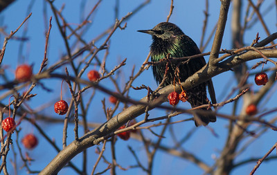 European Starling crabapples Bong Airport Superior WI IMG_0311