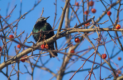 European Starling crabapples Bong Airport Superior WI IMG_0342