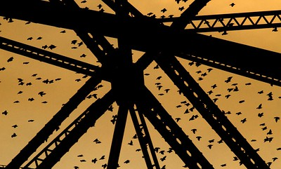 European Starlings Aerial Lift Bridge Canal Park Duluth MN IMG_9944 - Version 2