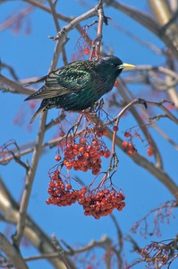 A European Starling joined American Robins and Bohemian Waxwings to feed on the fruit of this Mountain Ash [April; Duluth, Minnesota]