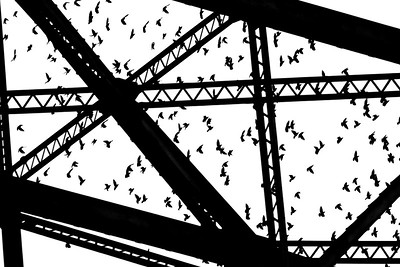 European Starlings Aerial Lift Bridge Canal Park Duluth MN IMG_9946 - Version 2