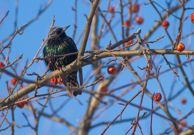 European Starling crabapples Bong Airport Superior WI IMG_0346