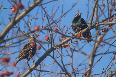 European Starling crabapples Bong Airport Superior WI IMG_0338