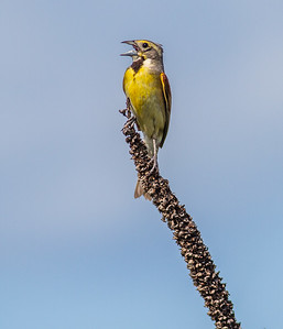 Dickcissel Swedes Forest SNA Yellow Medicine County MN Minnesota River Valley trip July 23-24 2019-8463