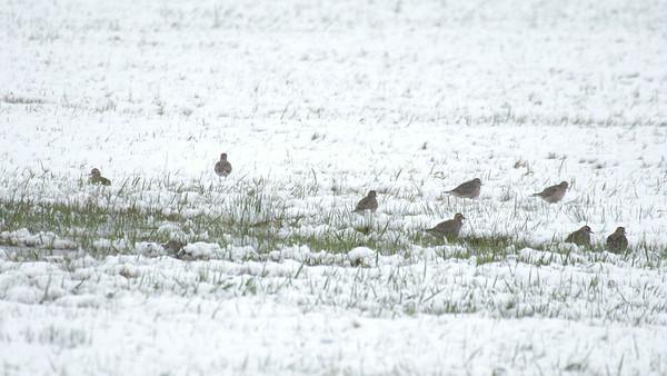 American Golden Plover flock in snow Dart Road CR229 Sax-Zim Bog MN-1033701