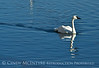 Trumpeter swan, Natl Elk Refuge, Jackson WY (16)