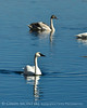 Trumpeter swan family, Jackson WY (15)