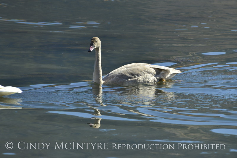 Trumpeter swan, Natl Elk Refuge, Jackson WY (13)