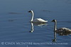 Trumpeter swan family, Jackson WY (13)