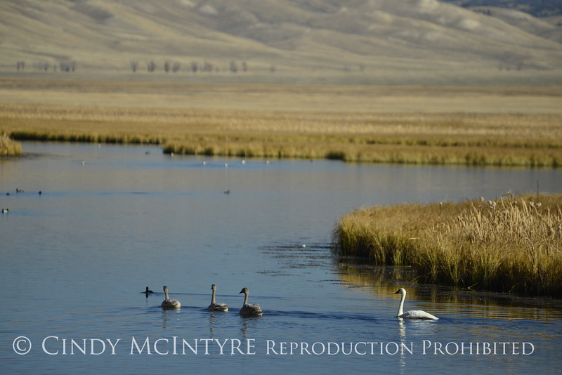 Trumpeter swan family, Jackson WY (23)