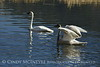 Trumpeter swan family, Jackson WY (12)