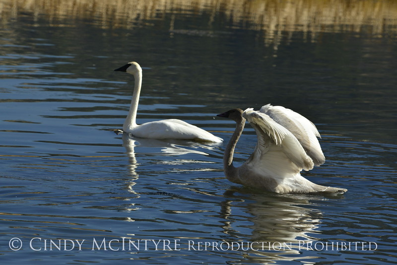 Trumpeter swan family, Jackson WY (11)