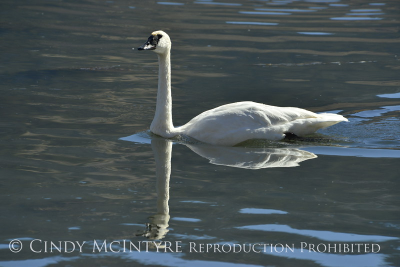 Trumpeter swan, Natl Elk Refuge, Jackson WY (7)