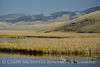Trumpeter swan family, Jackson WY (21)