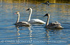 Trumpeter swan family, Jackson WY (17)