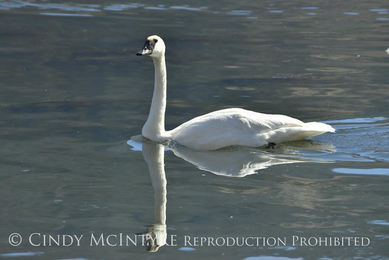 Trumpeter swan, Natl Elk Refuge, Jackson WY (10)