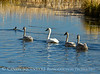 Trumpeter swan family, Jackson WY (19)