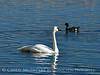 Trumpeter swan, Natl Elk Refuge, Jackson WY (19)