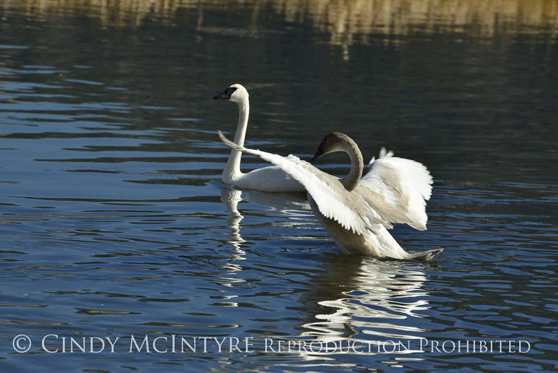 Trumpeter swan family, Jackson WY (6)